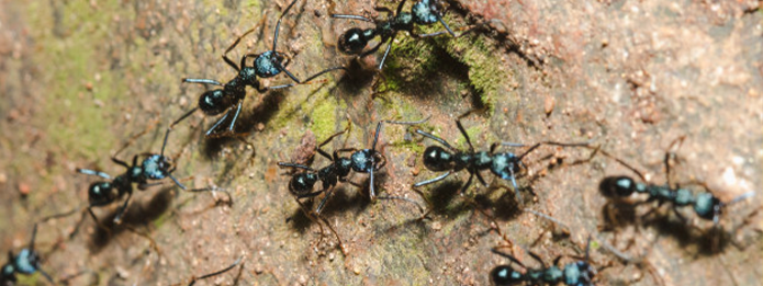 How are Carpenter Ants Different From Other Ants
