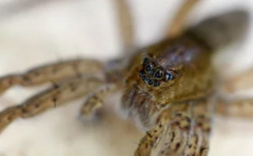 Do All Spiders Have 8 Eyes
