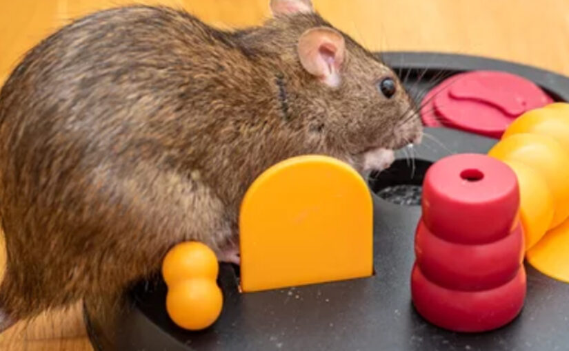What Makes Rats So Smart