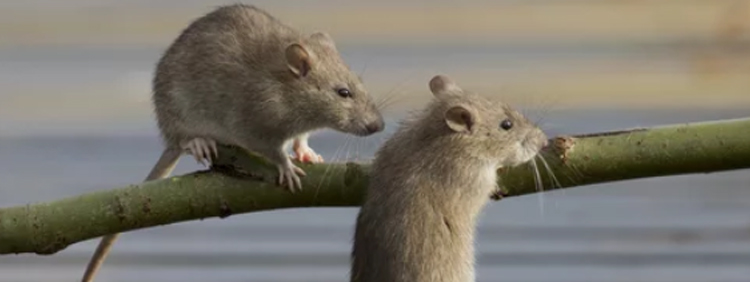Are Rats Social Animals