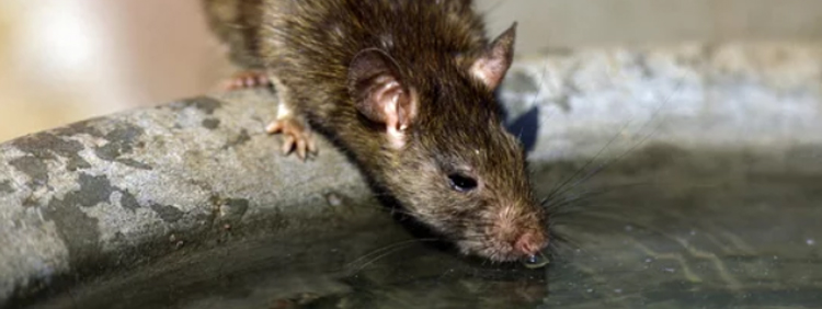 How Long Can Mice Live Without Water