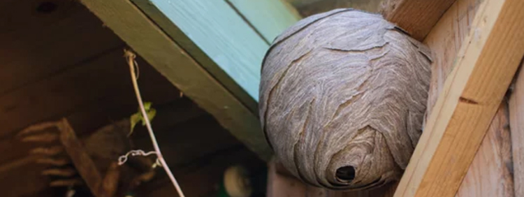 How Long Does A Wasp Nest Last