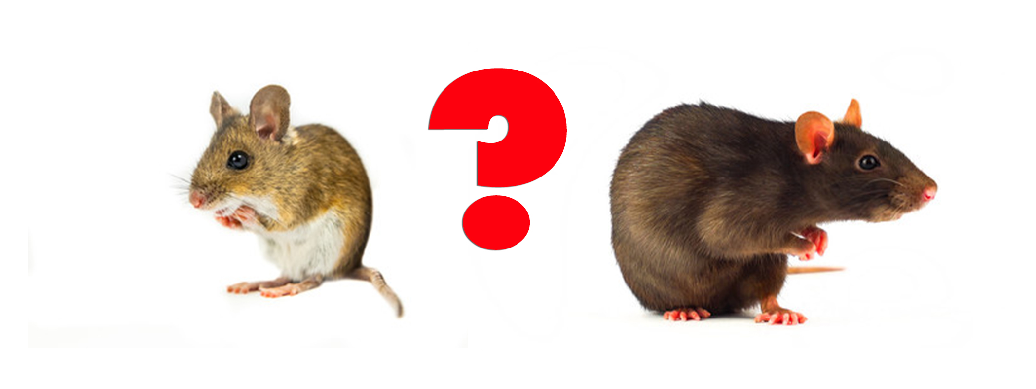 What's The Difference Between Mice and Rats